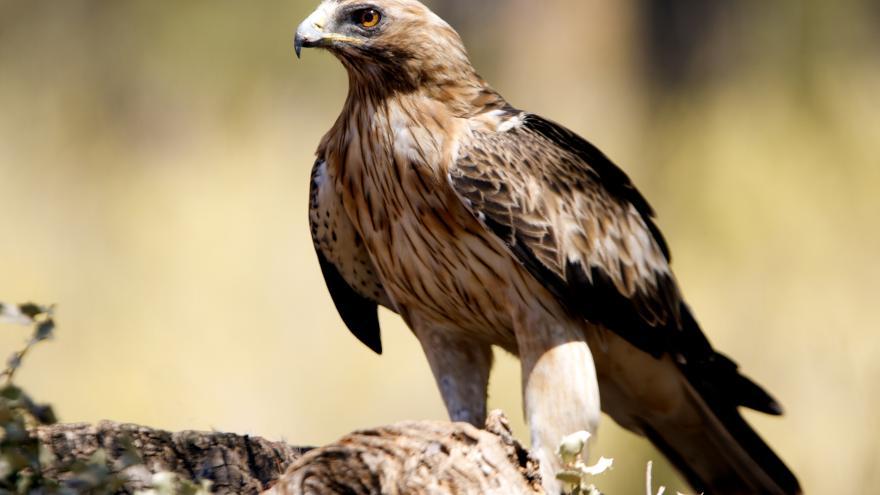 Texto Alternativo: Nace el primer pollo de águila calzada en el Parque Nacional de la Sierra de Guadarrama