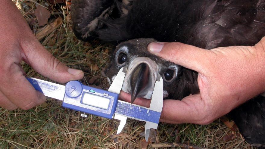 Texto Alternativo: Anillamos un pollo de buitre negro en un nido en el Parque Nacional de la Sierra de Guadarrama